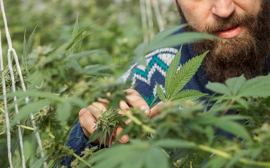 Notícias sobre Comprar e receber sementes de Cannabis via Correios não é crime, diz ministro do STF